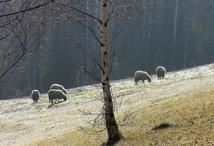 Varos selo ovce