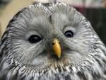ПРИЈЕДОР: Пронађена ријетка врста сове