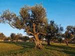 ЕУ: Бактерија која убија маслине прети грожђу и цитрусима