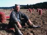 СРБИЈА: Увозимо кромпир из Албаније и Египта, а бацамо ивањички