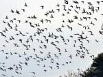СРБИЈА: Криволовци сваке године убију 170.000 птица