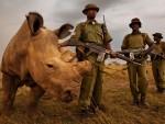 КЕНИЈА: Посљедњи мушки примјерак бијелог носорога под 24-сатном стражом