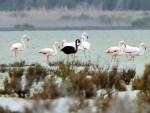 КИПАР: Откривен јединствени црни фламинго