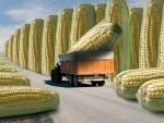 БРИСЕЛ: ЕУ одобрила увоз 19 ГМО производа