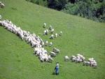 ГОДИНАМА ВАРАЈУ ГРАЂАНЕ СРБИЈЕ: Сјеничка јагњетина са Новог Зеланда!