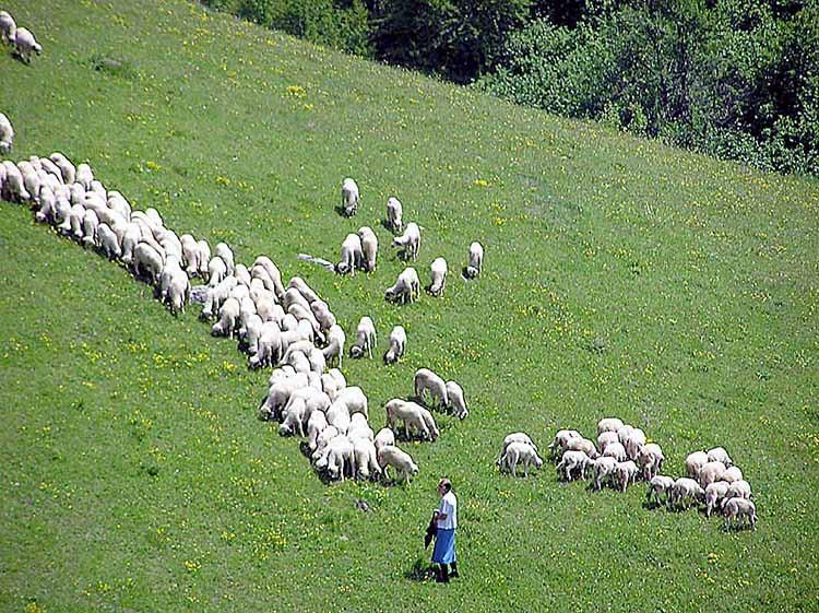 Deo Ljubomirovog stada pod Giljevom