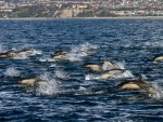 ДОБРОТА: Делфини допливали у Боку Которску