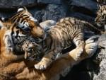 """БОРЈА УБИО МЕДВЕДА: """"Путинови"""" амурски тигрови прилагодили се дивљој природи"""