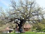 """ЗАСАДИЛИ ГА ПОДАНИЦИ ЦАРА САМУИЛА: Да ли је ово најстарији """"живи створ"""" на Балкану?"""