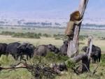 КО ЈЕ САДА КРАЉ ЏУНГЛЕ: Лав главом без обзира побегао од крда бивола