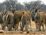 КАЗАХСТАН: Више од 120.000 антилопа угинуло од мистериозне болести