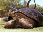 КАЛИФОРНИЈА: Угинуо Брзи, 150 година стар мужјак корњаче