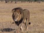 ТУЖАН КРАЈ ДОБРОГ ЛАВА: Био је најнежнија звер саване, а убијен је на монструозан начин