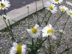 ЧЕТИРИ ГОДИНЕ ПОСЛЕ КАТСТРОФЕ: Мутирали цвјетови у Фукушими