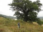 ТУЖАН ПРИЗОР: Три радника посекла дрво старо шест векова: Радиле три тестере, никада већи храст нисмо посекли!