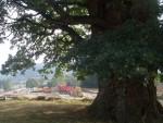 НЕМА ВИШЕ ЗАПИСА: Протекле ноћи посечен стари храст у селу Савинац