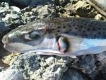 ДУГА ПОЛА МЕТРА: У Бечићима уловљена једна од најотровнијих риба на свету
