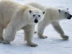 СИБИР: Бели медведи опколили метеоролошку станицу