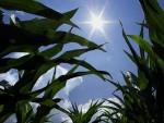 СРБИЈА: Суша опустошила њиве, у Срему род кукуруза преполовљен