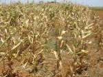 ШТЕТА 200 МИЛИОНА КМ: Киша није спасила род кукуруза