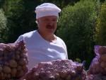 РОД ОДЛИЧАН: Лукашенко сакупио 70 џакова кромпира (видео)