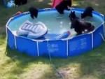 ПОГЛЕДАЈТЕ: Фамилија црних медведа побегла од врућине – на базен