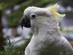 ВРЕЂАО КОМШИНКУ: Полиција привела папагаја због увреда