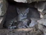 РЕТКА ЗВЕРКА: На свету има само 116 пустињских мачака, а сада су добиле појачање