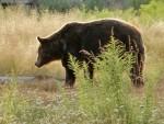 ИЗГЛАДНЕЛИ: Медведи тероришу сибирска села