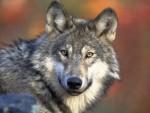 НАВИЈАМО ЗА ЊЕГА: У Бугарској вук побегао из зоолошког врта