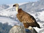 ТАМО ГДЕ ЈЕ БИО: Акција за повратак белоглавог супа на Стару планину