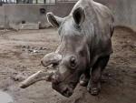 КЕНИЈА: Остала само три бијела носорога на свијету