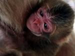 УПОЗОРЕЊЕ СТРУЧЊАКА: Више од половине примата на рубу истребљења