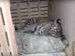 ХРАБРОШЋУ СПАСИО ЖИВОТ: Уместо да поједе овна Тимура, тигар Амур се спријатељио са њим