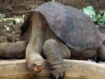 УСАМЉЕНИ ЏОРЏ: Научници покушавају да оживе изумрлу врсту корњача са Галапагоса