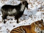 НАСТАВАК ПРИЈАТЕЉСТВА: Тигар учи јарца да лови