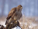 ОТРОВАНИ: Код Кањиже нађено шест мртвих орлова мишара који су заштићена врста