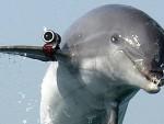 СЕВАСТОПОЉ: Русија обучава делфине у војне сврхе