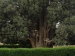 ДРУГО НАЈСТАРИЈЕ ДРВО НА ПЛАНЕТИ: Чемпрес стар четири и по хиљаде година живи у Ирану