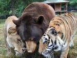 ПРИЈАТЕЉИ: Тигар, лав и медвјед нераздвојни већ 15 година