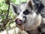 ФУКУШИМА: Радиоактивне свиње пустоше села