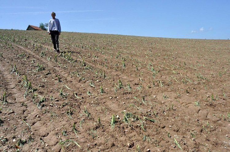 kosjer 10 unistena njiva kukuruza
