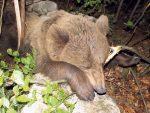 ТАРА: Спасена тешко повређена женка медведа