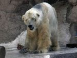 """АРГЕНТИНА: Угинуо """"најтужнији поларни медвјед на свијету"""""""
