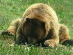 ТАРА: Ухваћена и маркирана три мрка медведа