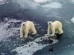 КАРСКО МОРЕ: Руске зоологе опколили поларни медвједи; помоћ стиже за мјесец дана!
