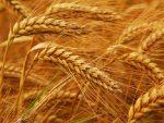РУСКО ЖИТО: Русија поставила рекорд у пољопривредном сектору