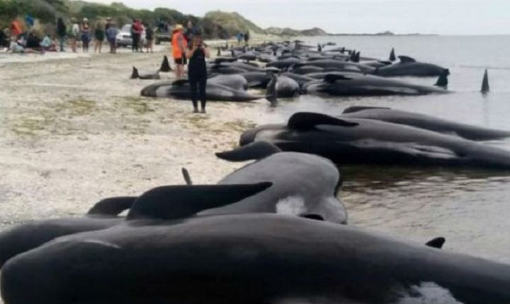 ДРАМА НА НОВОМ ЗЕЛАНДУ: Трка за спас стотина китова