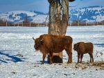 КАНАДА: На Дан планете у парку Банф рођен први бизон послије 140 година