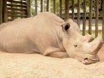 КЕНИЈА: Угинуо посљедњи мужјак сјеверног бијелог носорога